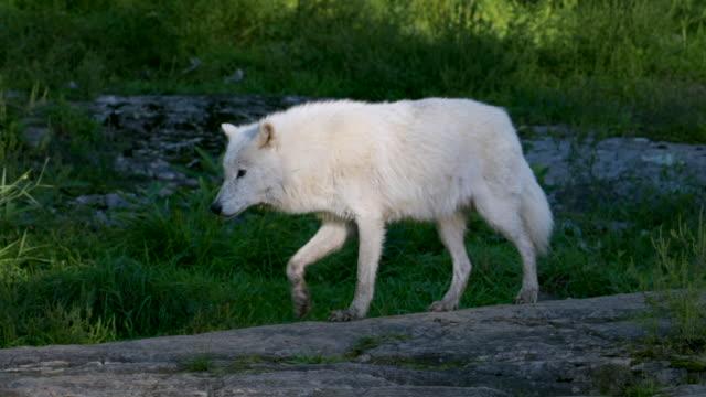 slow motion: arctic wolf walking along rocky ground from shadow into sunlight - sheep点の映像素材/bロール