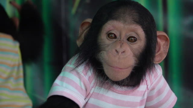 slow motion baby chimpanzee wearing shirt. - endangered species stock videos & royalty-free footage