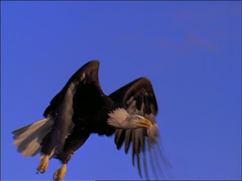 slow motion bald eagle flying in blue sky past camera