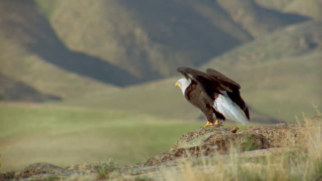 slow motion bald eagle taking off from rock - aquila video stock e b–roll