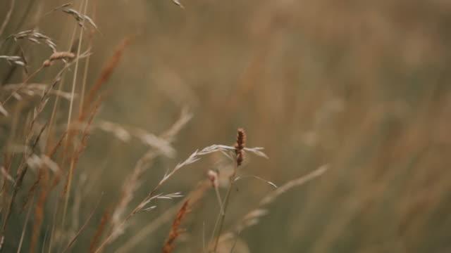 zeitlupe gerstenfelder während des tages. nahaufnahme von gerstenfeldern - ruhige szene stock-videos und b-roll-filmmaterial