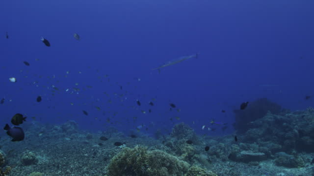 slow motion, barracuda swims over tropical reef - barracuda stock videos & royalty-free footage