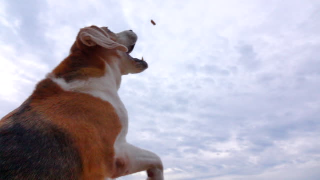 vídeos de stock e filmes b-roll de slow motion beagle catching a snack - biscoito de cachorro