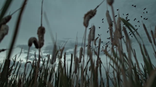 slow motion birds flying over cattails at dusk - bulrush stock videos & royalty-free footage