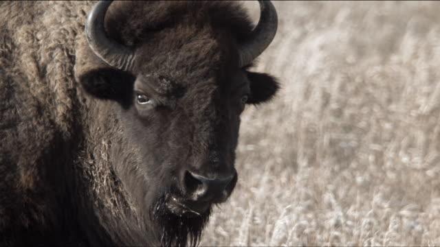 slow motion bison eating - amerikanischer bison stock-videos und b-roll-filmmaterial