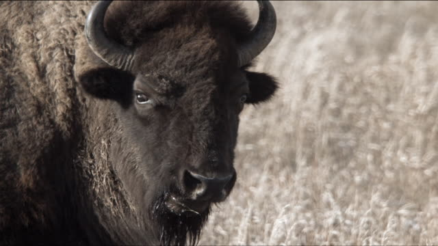 slow motion bison eating - アメリカバイソン点の映像素材/bロール