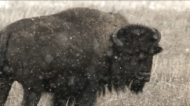 vídeos de stock e filmes b-roll de slow motion bison in snow 2 - bisonte americano