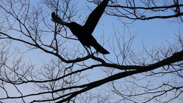 slow motion black crow on tree and flying at osaka - branch stock videos & royalty-free footage