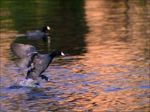 "slow motion black duck or goose ""running"" on surface of water - cinematografi bildbanksvideor och videomaterial från bakom kulisserna"