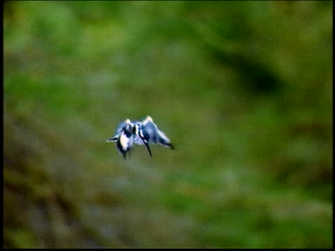 slow motion black + white pied kingfisher hovering then diving - aquatic organism stock videos & royalty-free footage