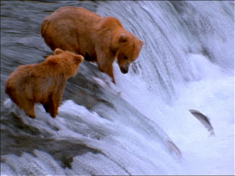 slow motion brown bear + cub fishing for salmon in waterfall / Alaska