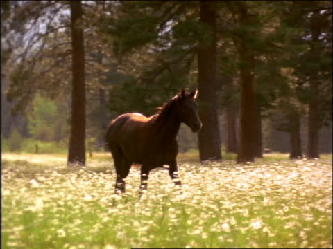 slow motion pan brown horse trotting in field of white flowers / montana - cinematography stock videos & royalty-free footage