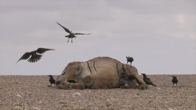 slow motion, brown-necked raven (corvus ruficollis) and common raven (corvus corax) feeding on carcas in the desert - dead animal stock videos & royalty-free footage