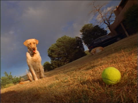 slow motion CANTED dog sitting in front of tennis ball in grass then walking + grabbing it with mouth / NM