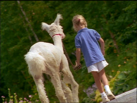 slow motion canted girl walking white alpaca away from camera outdoors - 草食性点の映像素材/bロール