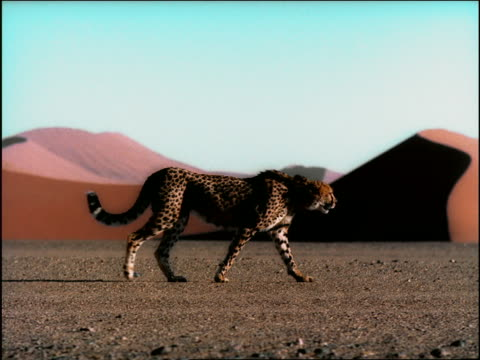 slow motion PAN cheetah walking in desert / Black male athlete running past in background / Namibia, Africa