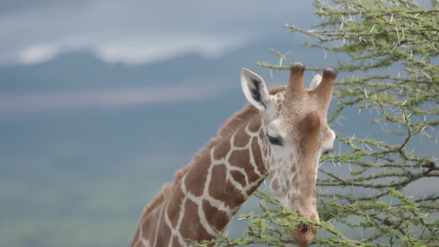 Slow motion close shot of a giraffe eating leaves from an acacia tree.