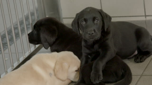 slow motion close shot of labrador puppies at the national guide dogs centre for the blind. - young animal video stock e b–roll