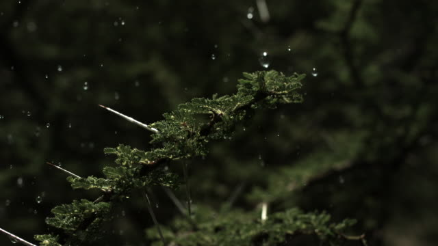 Slow motion close shot of raindrops falling onto acacia branches.