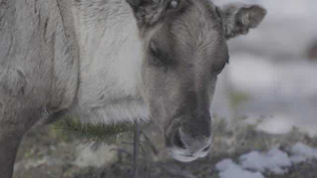 Slow motion close shot of reindeer.