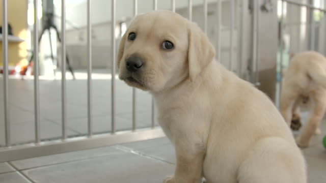 slow motion close shot on a labrador puppy at the national guide dogs for the blind training centre. - young animal video stock e b–roll