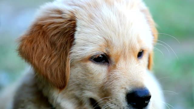 Slow motion close shot on a Labrador puppy