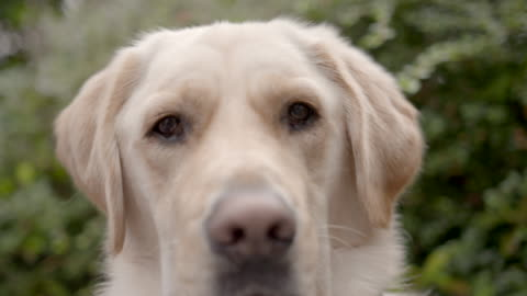 slow motion close shot on the face of a labrador dog. - staring stock videos & royalty-free footage