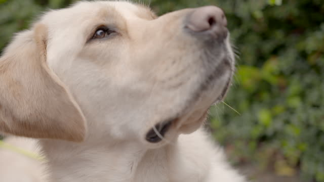 slow motion close shot on the face of a labrador dog. - retriever stock videos and b-roll footage