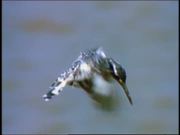 slow motion close up black + white pied kingfisher hovering then diving - aquatic organism stock videos & royalty-free footage