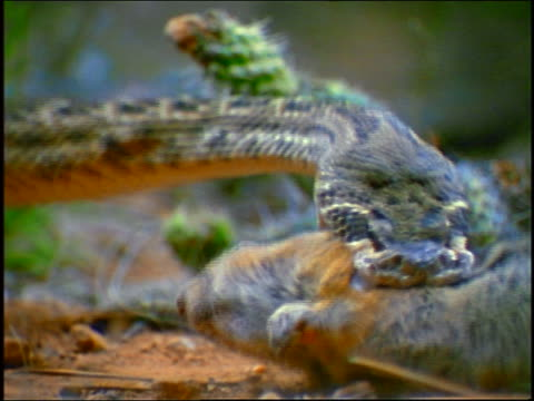 slow motion close up diamondback rattlesnake biting squirrel + letting go / cacti in background
