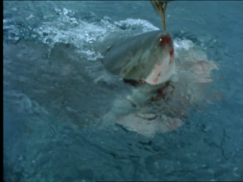 slow motion close up great white shark eating bait attached to pole