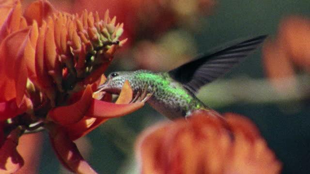 slow motion close up hummingbird feeding on flower in rain forest / manu, peru - hummingbird stock videos and b-roll footage