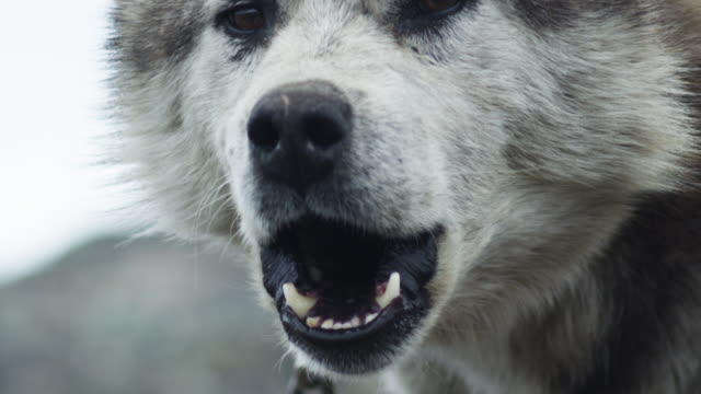 Slow motion close up, husky barks