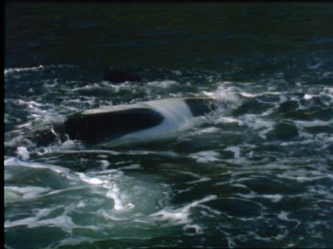 vidéos et rushes de slow motion close up killer whale splashing tail in water - cétacé