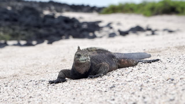 slow motion close up: large marine iguana on beach walks off camera shaking head in sign of dominance - galapagos islands, ecuador - south pacific ocean stock videos & royalty-free footage