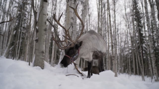 vidéos et rushes de slow motion: close up low shot of caribou walking in alaskan snowy wilderness, fairbanks, alaska - caribou
