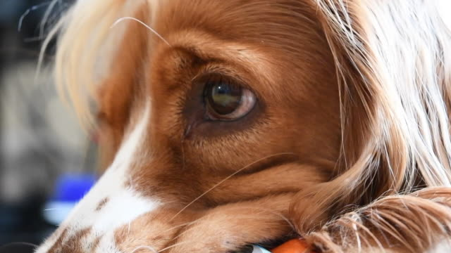 Slow motion close up of a Cocker Spaniel dog pet