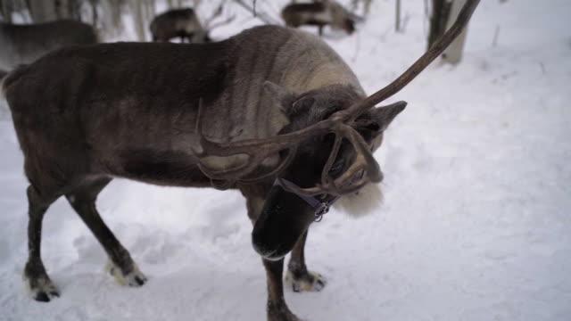 slow motion: close up of alaskan reindeer missing half of rack, fairbanks, alaska - deer stock videos & royalty-free footage