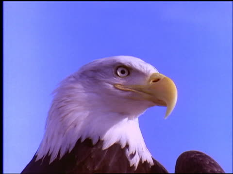 slow motion close up of bald eagle's head / blue sky in background