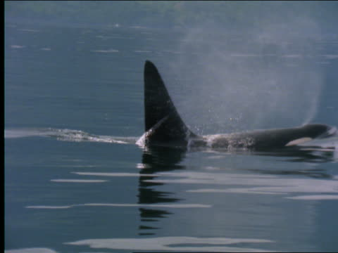 slow motion close up of killer whale emerging + submerging in water
