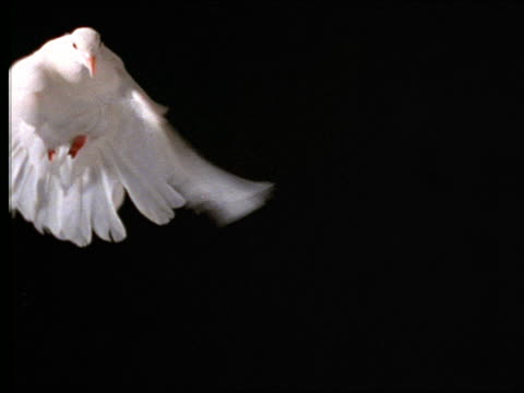 slow motion close up of white dove hovering with black background - 小さめのハト点の映像素材/bロール