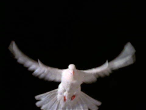 slow motion close up of white dove hovering with black background - colomba video stock e b–roll