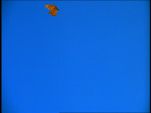 slow motion close up orange monarch butterfly flying with blue background / chroma key
