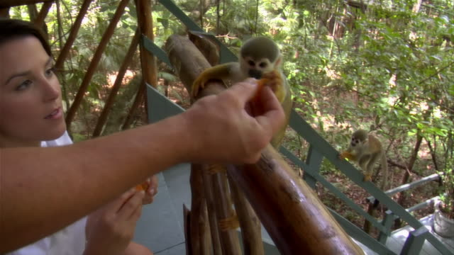 slow motion close up pan couple feeding orange to squirrel monkeys at ecolodge/ the amazon, brazil - amazonas state brazil stock videos and b-roll footage