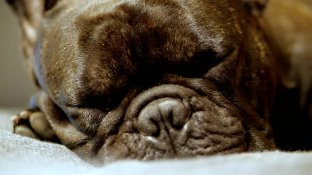 slow motion : close - up shot of a cute black french bulldog sleep on sofa. - french bulldog stock videos and b-roll footage
