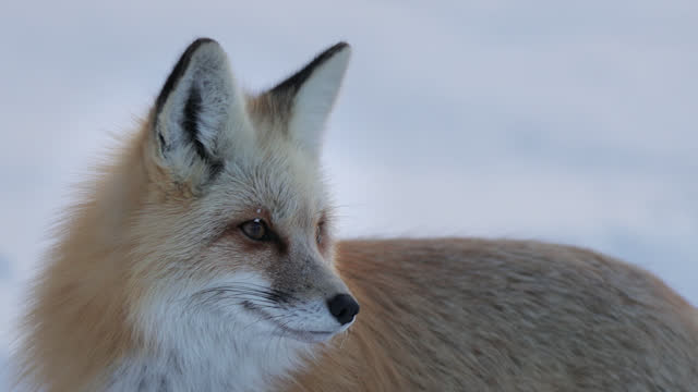 ts 4k slow motion close up shot of a red fox (vulpes vulpes) standing in the snow - jackson hole stock-videos und b-roll-filmmaterial