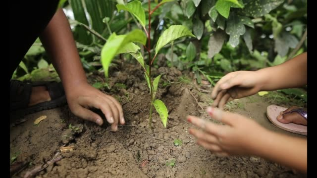 slow motion close up shot of the hands of of two small children planting tree in the mud in bangladesh on july 8, 2020. afrin, 4 years old, is... - planting stock videos & royalty-free footage