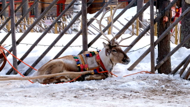 4k slow motion :close up shot to reindeer face are breathing. reindeer sleigh ride tied up in snow. rovaniemi, finland - sledge stock videos & royalty-free footage