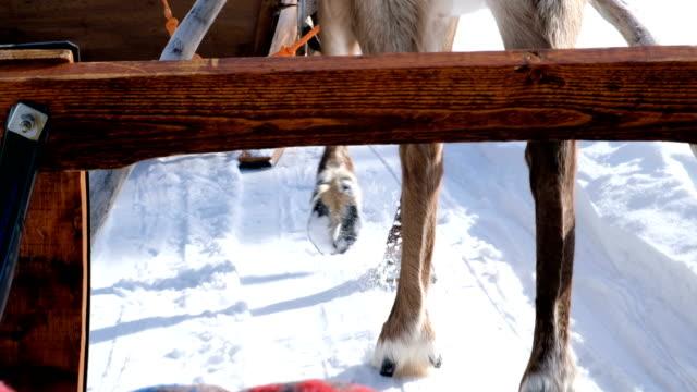 4k slow bewegung: schließen sie den schuss zum reindeer bein, das auf schnee läuft. schlittenfahrt in rovaniemi, finnland - huf stock-videos und b-roll-filmmaterial