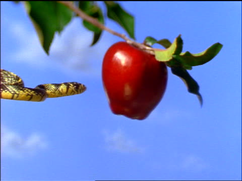 slow motion close up snake flicking tongue at apple on tree - apple fruit 個影片檔及 b 捲影像